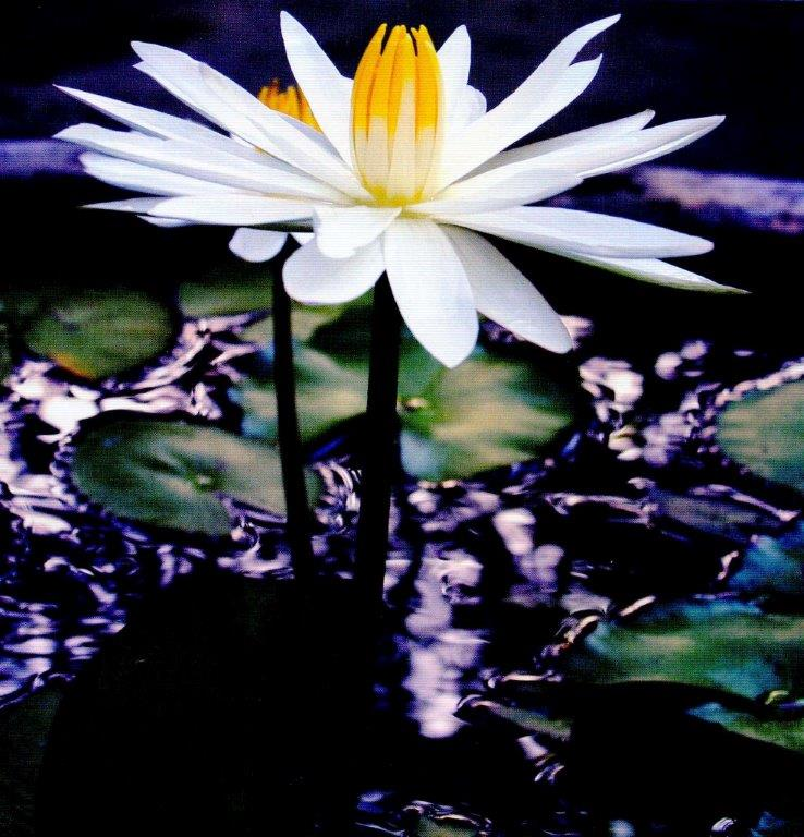 waterlilly3
